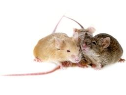 Tallahassee Mice